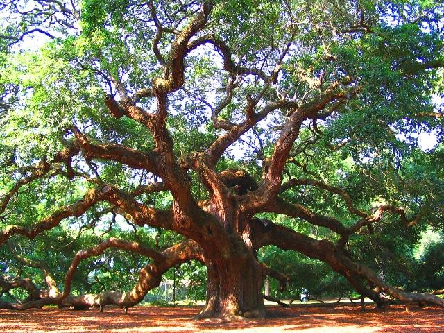 bit oak tree.jpg