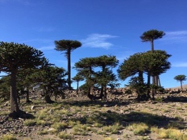 Araucaria araucana trees near Volcán Copahue, Argentina. These living fossils from the Mesozoic (250 to 65 million years ago) may have once fed sauropod dinosaurs with their  thumb-sized pine nuts. Credit: C.E. Carr. #Argentina #Chile #Patagonia #Volcano #ExtremeLife #Conifer #MarsAnalog #FieldSite #NaturalBeauty #Dinosaur #Sauropod #LivingFossils #PineNuts