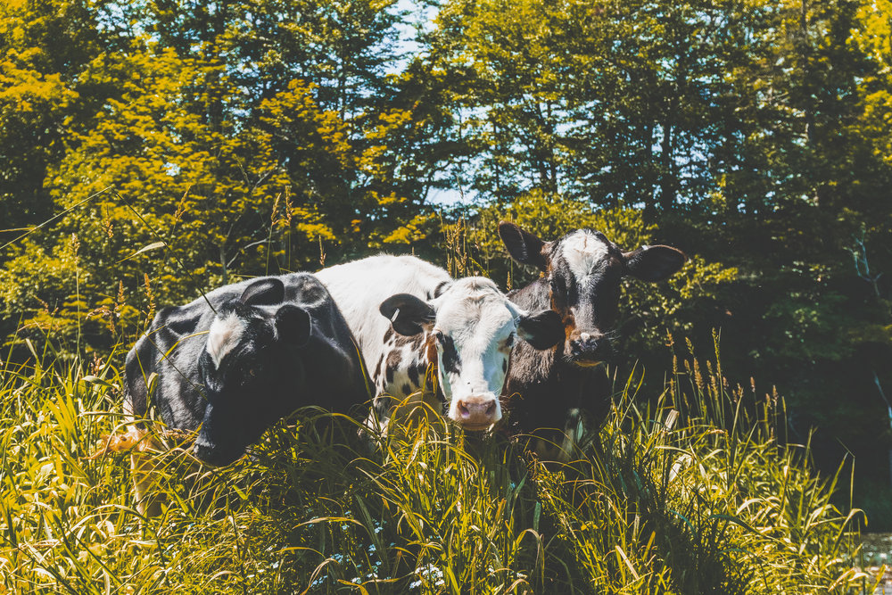 EESPINO_03212019_THEDELAWARERIVER_COWS_MULTI_.JPG