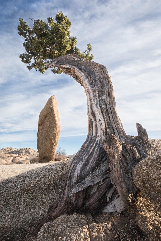 Lone Juniper & Balancing Rock, Joshua Tree National Park, California [January, 2018]