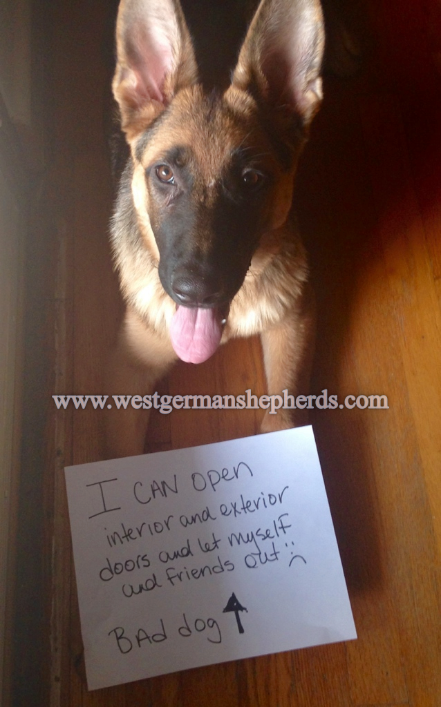 dog shaming - when done in the proper, light-hearted manner - its all good. the ever curious german shepherd dog pays attention more than we give credit. gsd logic 101... hmm - the boss lady turns that shiny thing-a-ma-jig (door-knob) every time before leaving. not to be outdone - axel tried it for himself: he mouthed the door handle, twisted his head, put it in reverse and voila - freedom, sadly he is a repeat offender.shame on you axel... you smart boy!!!