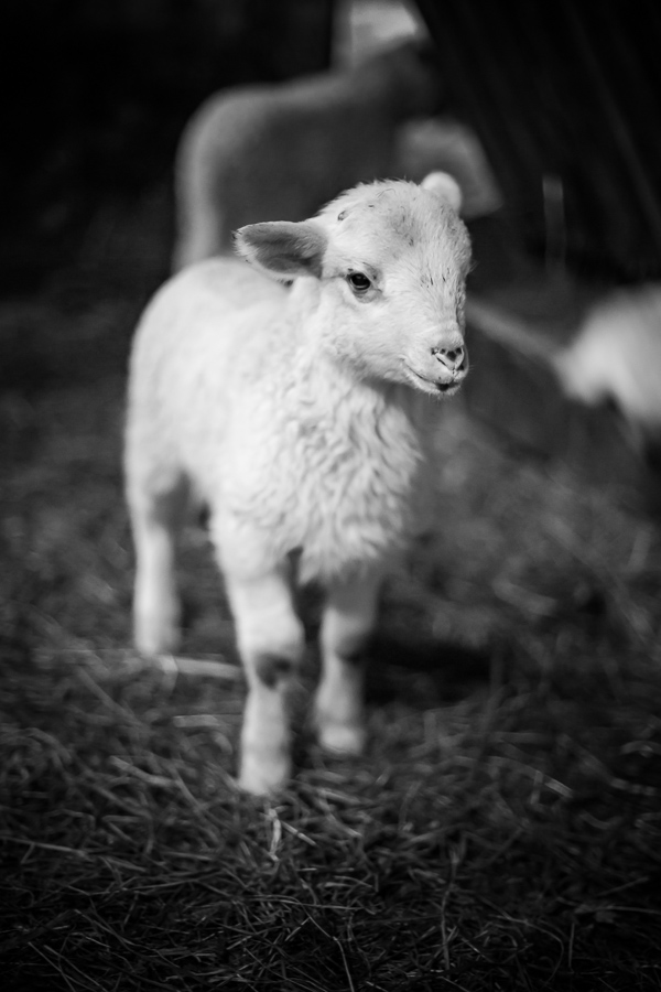 Polish Mountain Sheep breed.  One week young sheep portrait in barn.