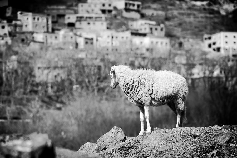 Moroccan Mountain (Berber,  Marmoucha  )breed.  Alone sheep in Atlas.