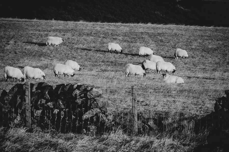 Scottish Blackface Sheep.  Sheep grazing on the hill.