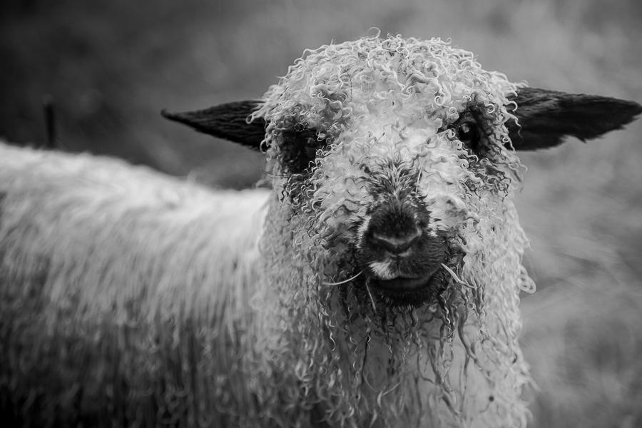 Mixed breed sheep  .  Sheep portrait in the High Tatras, Poland.