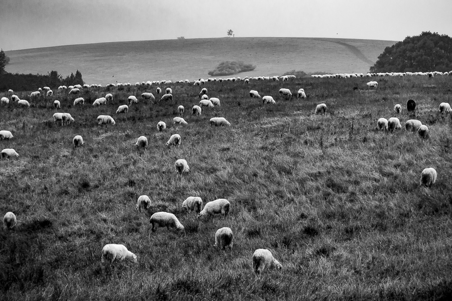 Polish Mountain sheep  .  Sheep grazing in the High Tatras, Poland.