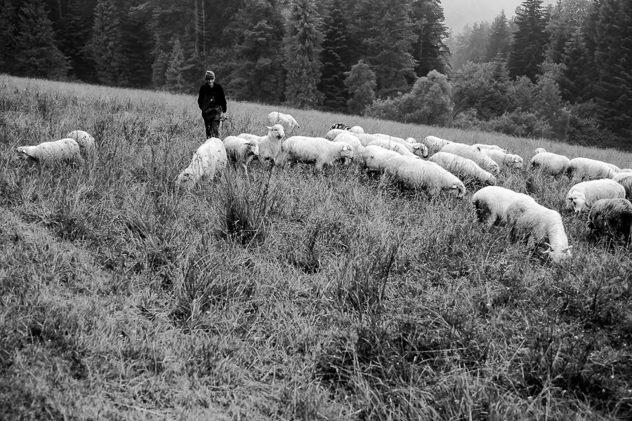 Sheep in the High Tatras, Poland.  Farmer and his sheep.