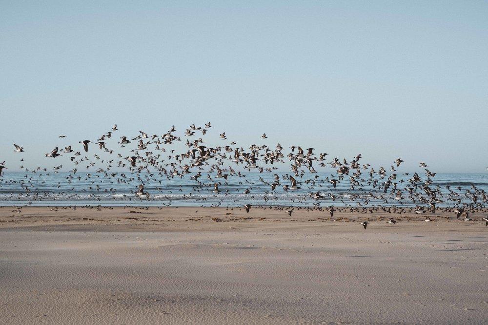 Envol d'Oystercatchers, ou Huîtriers en français. Un oiseau de taille moyenne, noir et blanc, aux pattes et long bec orangés. Il est assez sympa, on l'aime bien :)