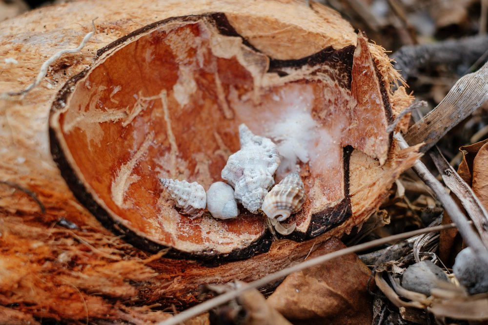 Les bernard l'hermite apprécient aussi la chair de coco ;) !