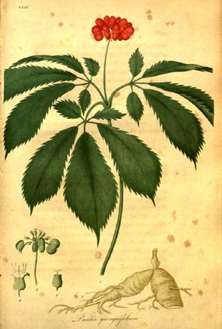 (https://en.wikipedia.org/wiki/American_ginseng)