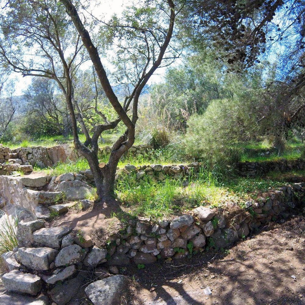 La Isola del Giglio villa ha un oliveto terrazzato