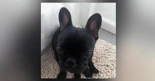 The French bulldog who suffocated on a United Airlines flight.