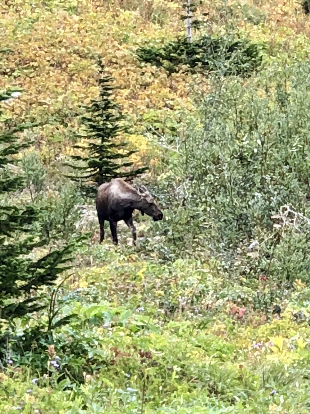 This looks like a painting, but it's not. My sister-in-law shot this moose from a looong distance. With her camera, of course.