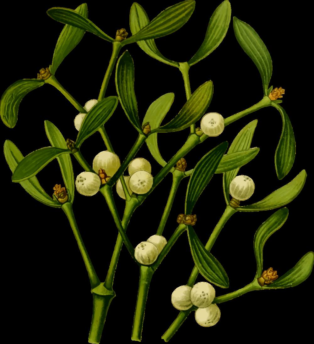 mistletoe-plant-vector-file.png