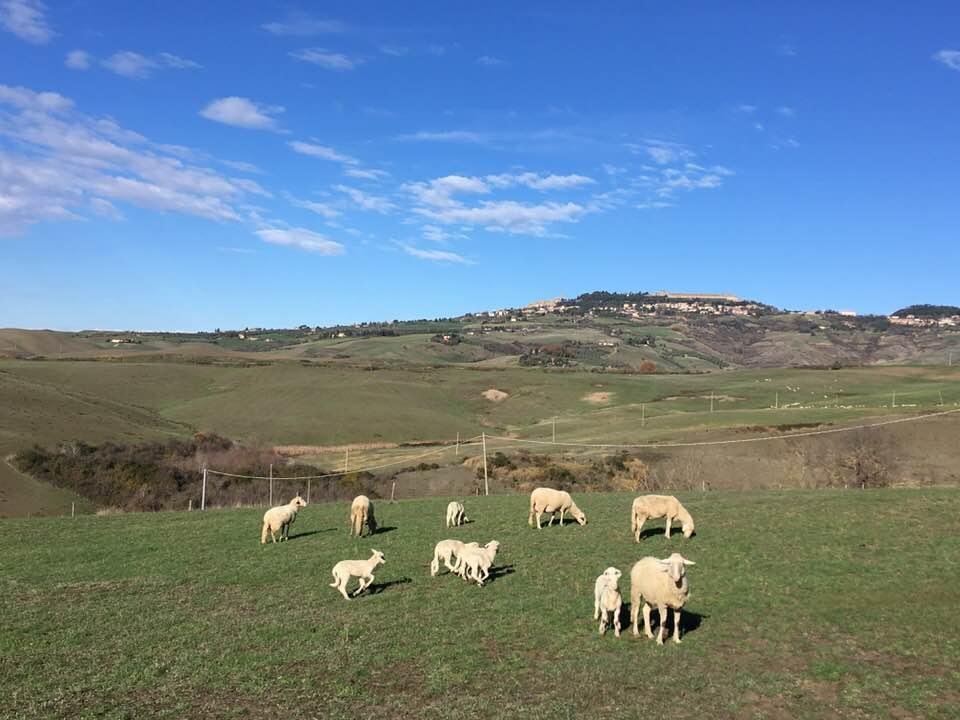 L'agnello di razza pomarancino igp, slow food,del nostro allevamento