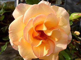 school rose.jpg
