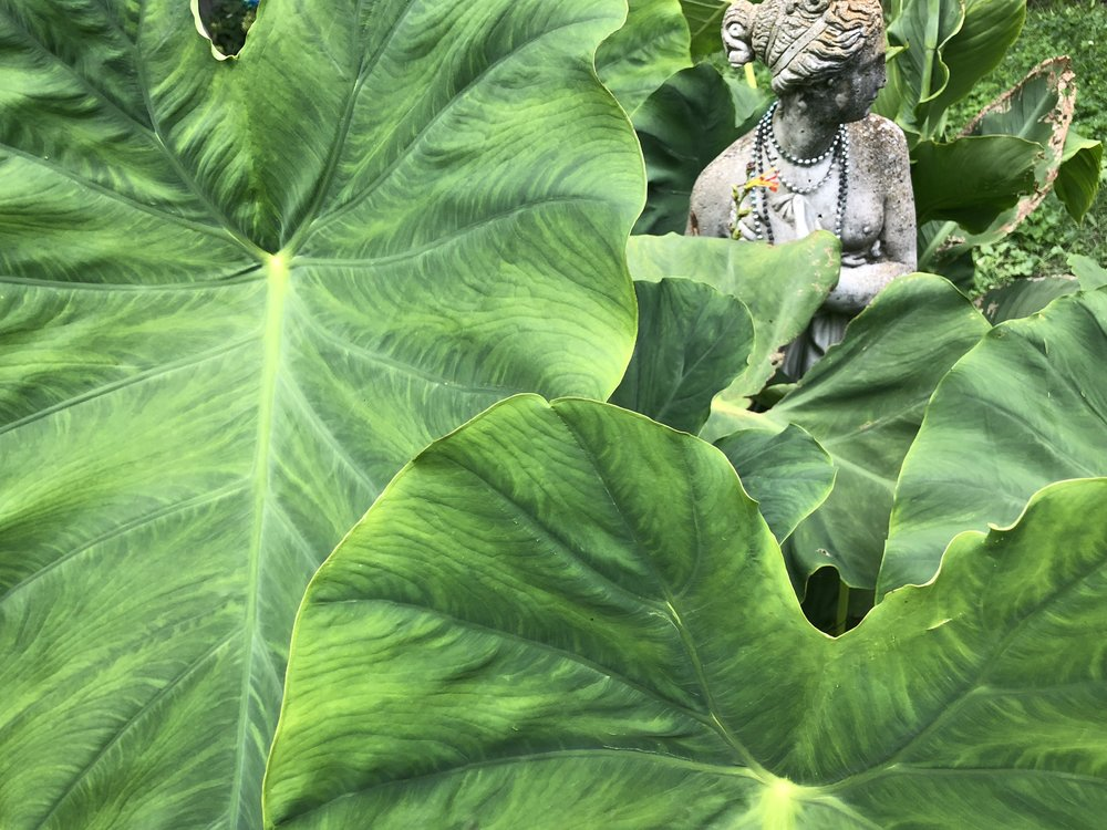 The Elephant Ears in August