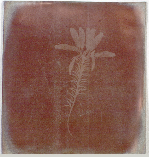 "Henry Fox Talbot, ""Photogenic Drawing"" of Erica Mutabilis, 1839"