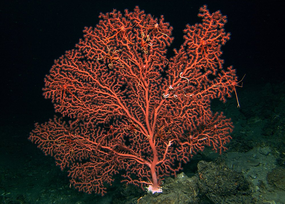 Paragorgia octocoral in the Gulf of Mexico. September 2016.