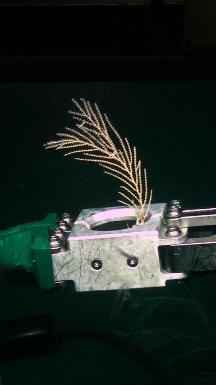 Collecting Callogorgia sample with ROV Global Explorer