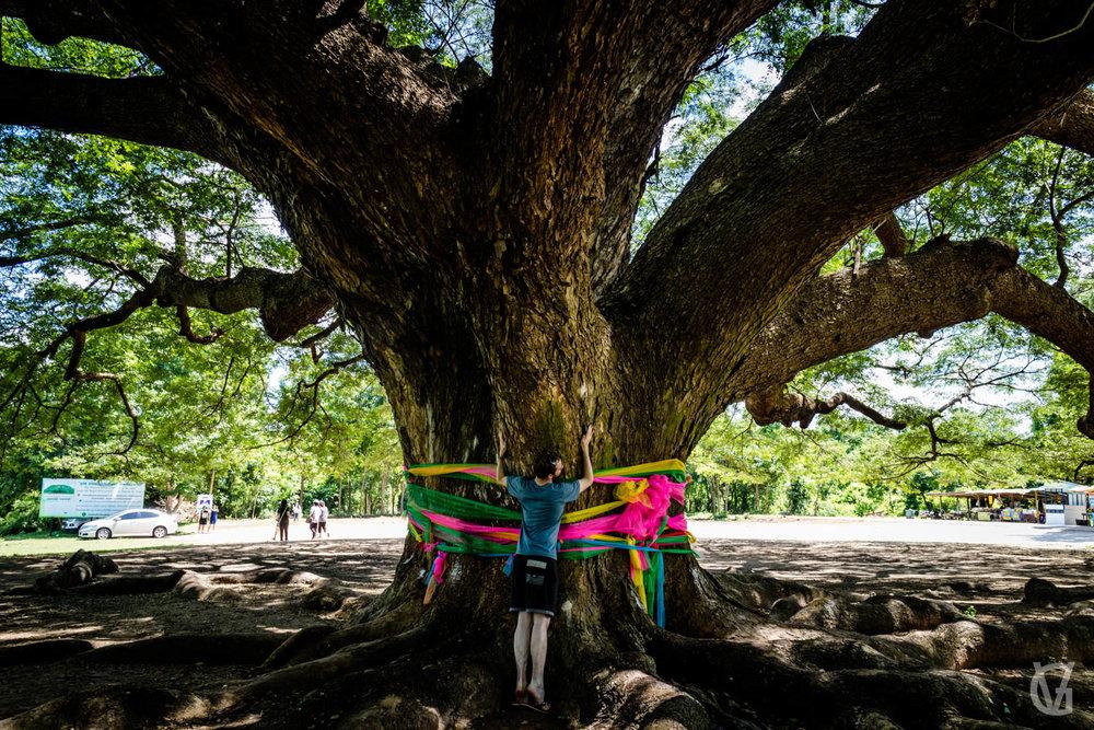 Giant Rain Tree, Kanchanaburi