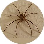Kućni pauci