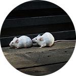 Kako uništiti miševe u kući