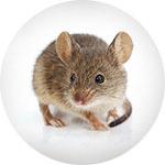 Kako se otarasiti miševa