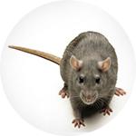 Kako se rešiti pacova