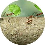 Žuti mravi u stanu