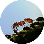 Otrov za mrave