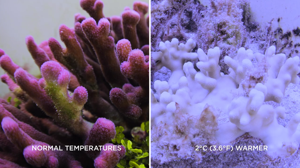 Figure 3: A coral before and after bleaching. The white colour comes from the calcium carbonate skeleton (Chasing Coral, 2017).