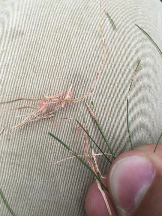 "Fungus called ""RED THREAD"" observed in a Minnetonka lawn."