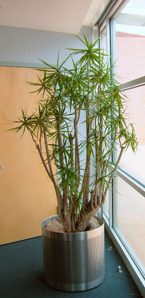 Dracaena Stump Form
