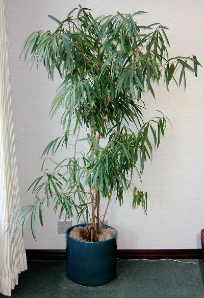 Ficus 'Alii'