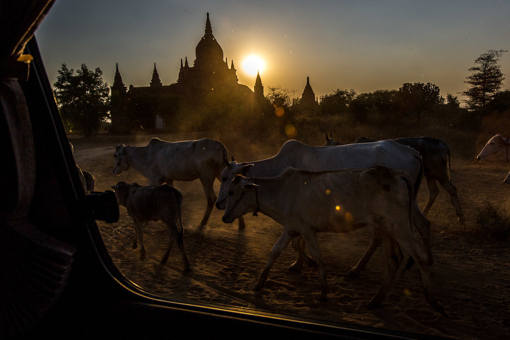 Cattle herd. Bagan, Myanmar.