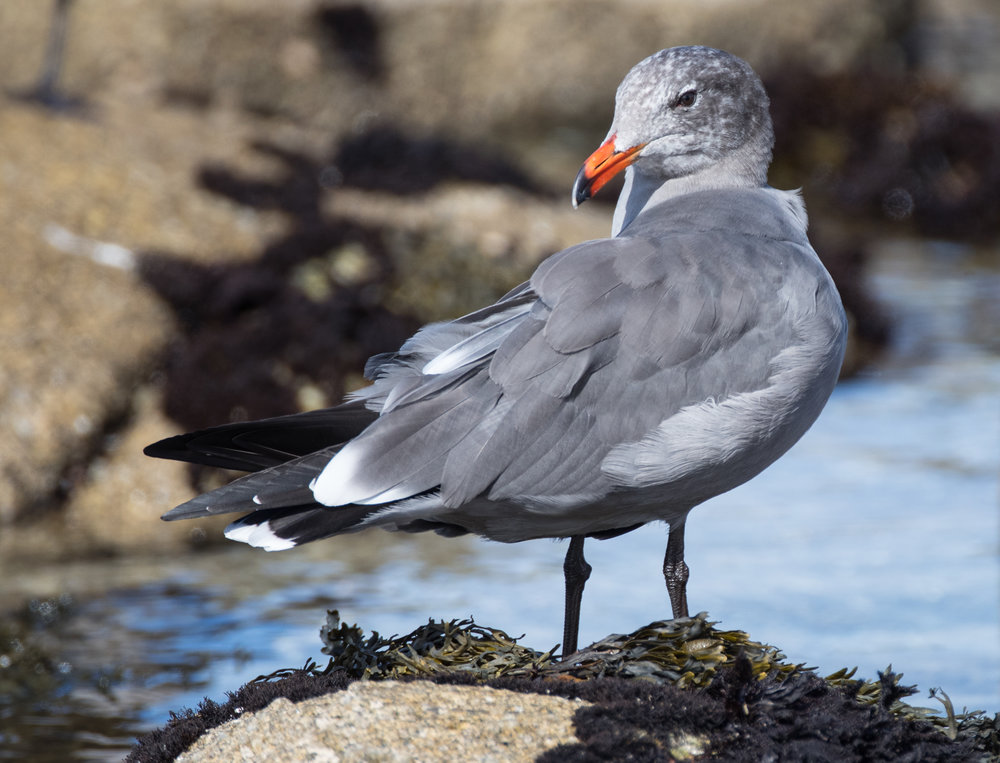 An adult Heermann's Gull preening on the shores of Monterey Bay, wearing its handsome winter plumage. Photo (C) Blake Matheson