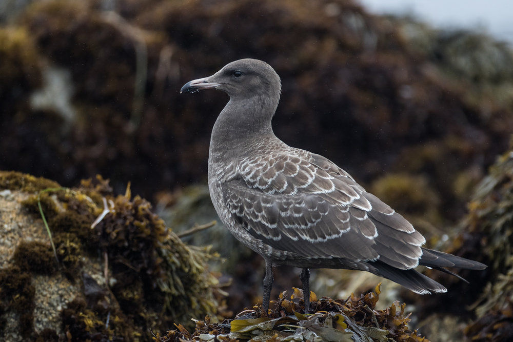A juvenile Heermann's Gull near Monterey, just a couple months after fledging. Photo (C) Blake Matheson