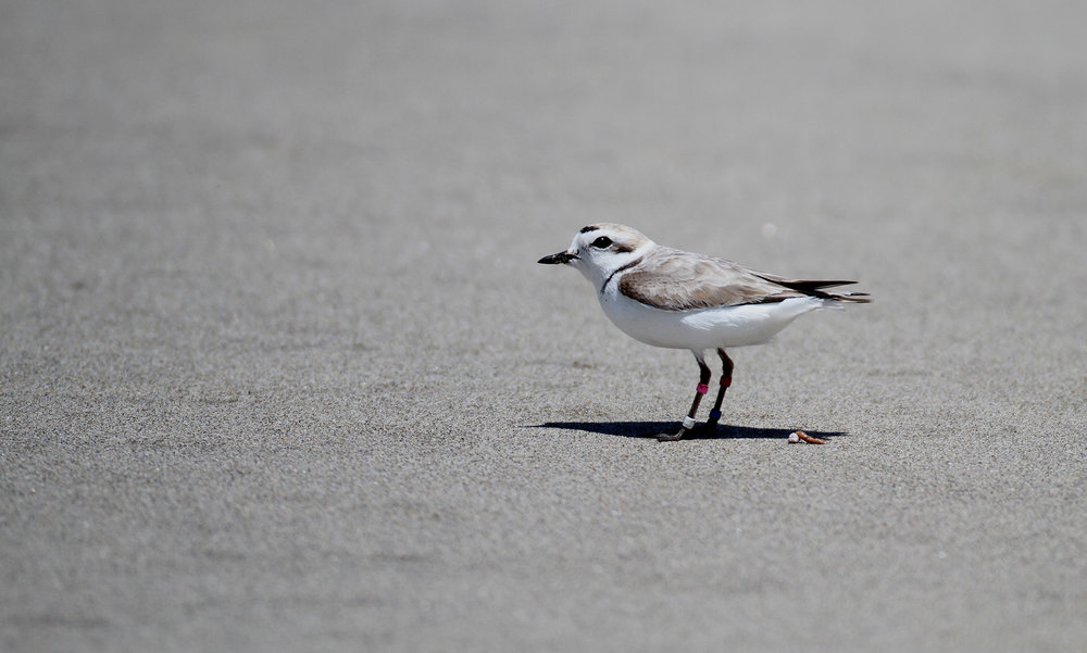 A Snowy Plover near the Salinas River mouth (c) B. Matheson