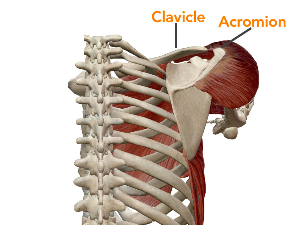 phonto clavicle.jpg