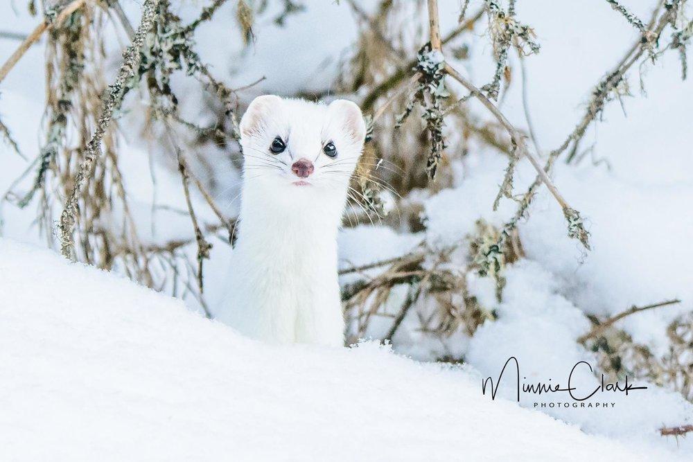 Weasel.jpg