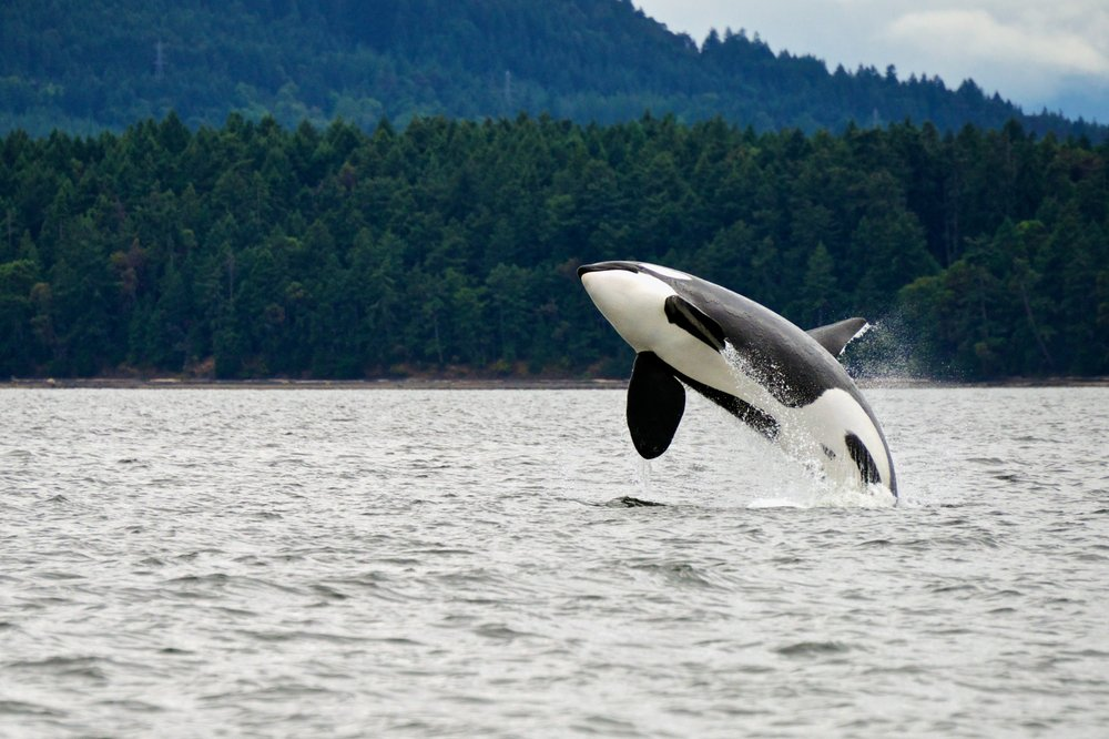 Killer Whale breaching near Canadian Coast Photo from Shutterstock via Whale Sanctuary Project.