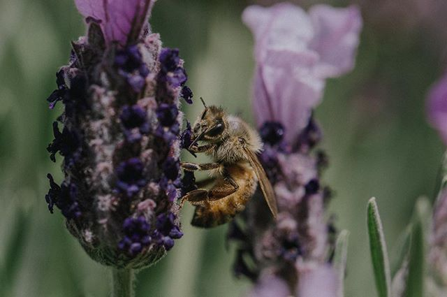 This one's for you @the.wastefree.chef 🐝🌸 . . . . #bee #lavender #naturephotography #macrophotography