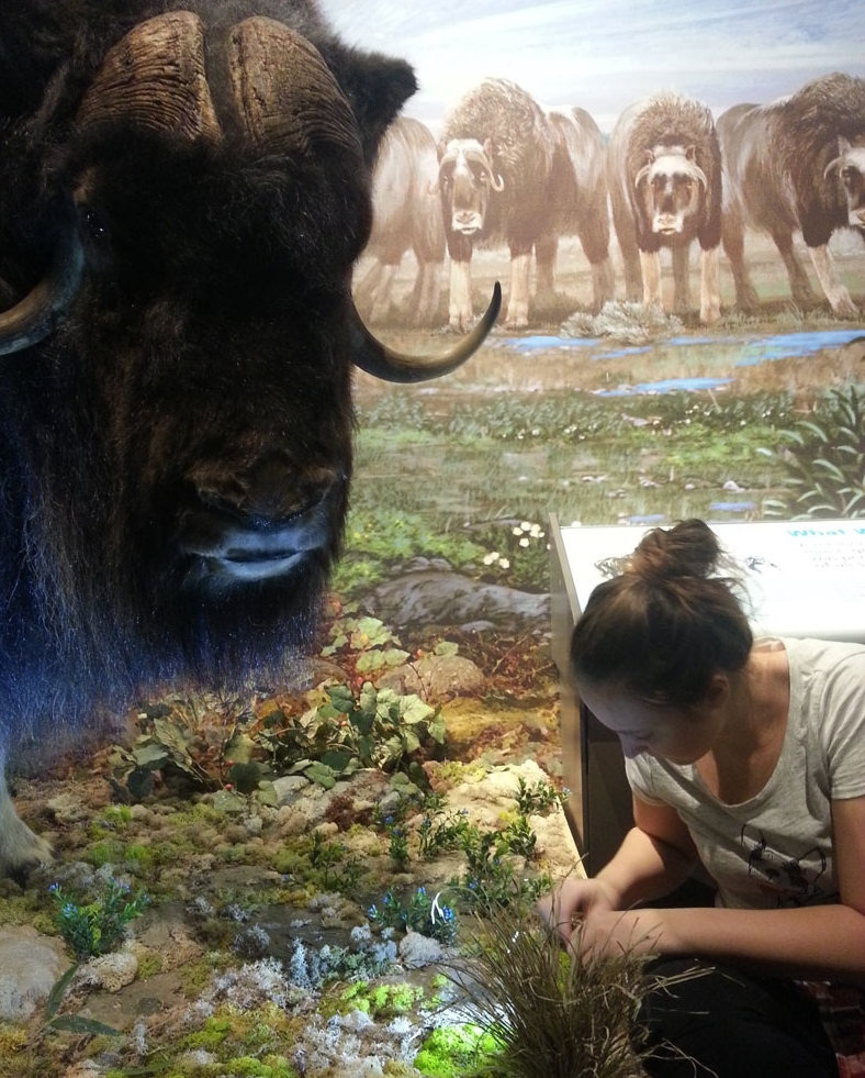 Musk-Ox-Diorama-jane mahoney.jpg