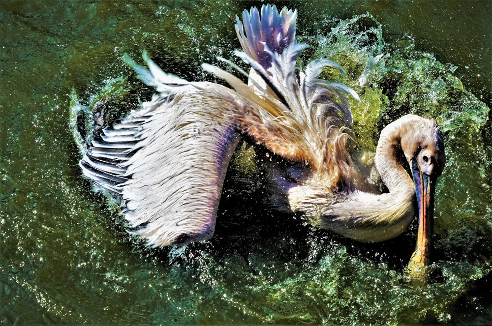 The dynamic ballet of a pelican is a sight to behold, seen here near Capetown, South Africa.