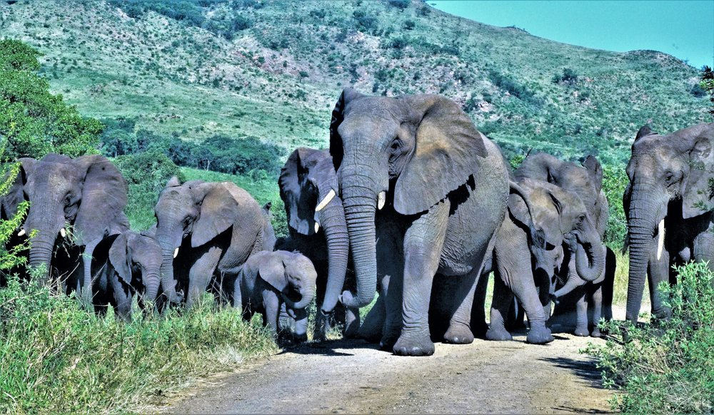 An encounter with a herd of wild elephants can sometimes be an adrenaline-pumping yet somewhat risky proposition, seen here at the Hluhluwe-Imfolozi Park, in South Africa.