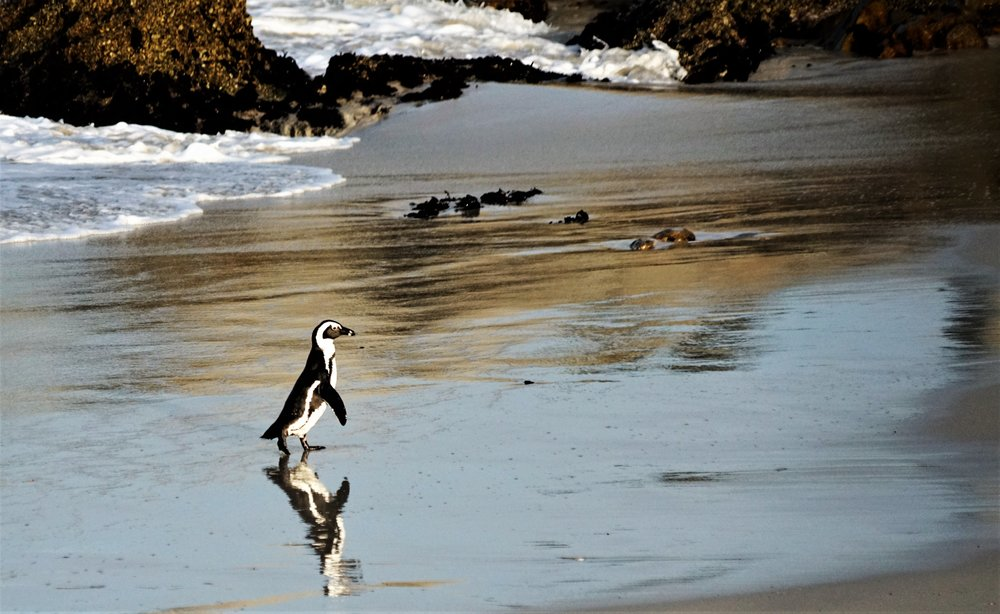 Lonely penguin returning from the sea, in Boulders Bay, South Africa