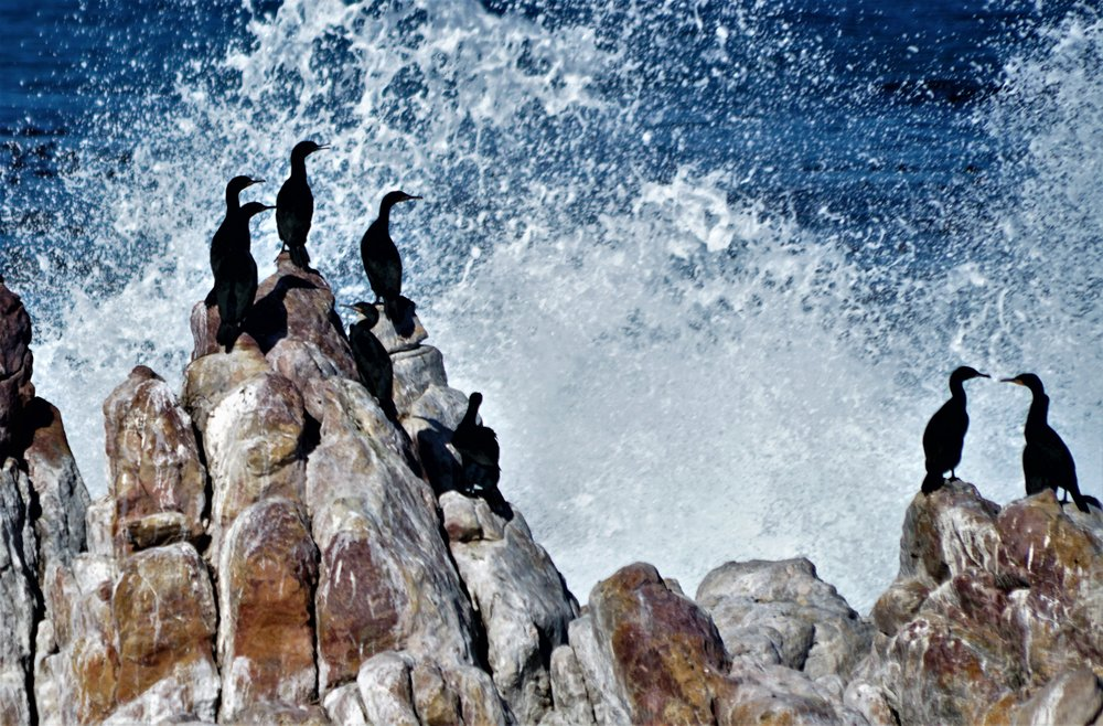 Cormorants in Boulders Bay, South Africa