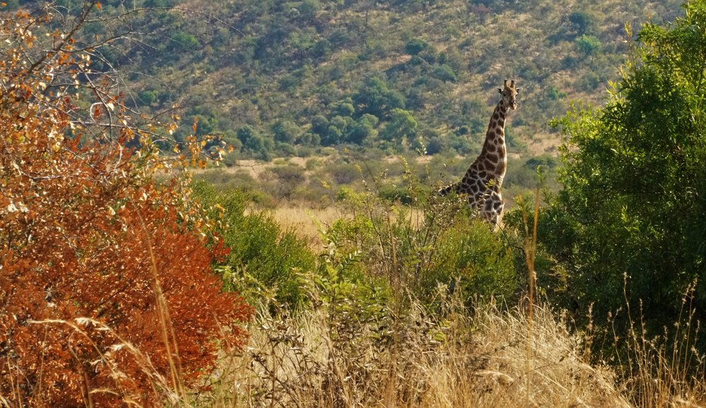 Giraffe in Imfolozi Game Reserve, South Africa