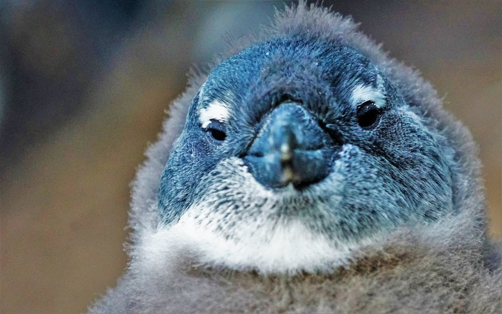 Penguin chick in Boulders Bay, South Africa.